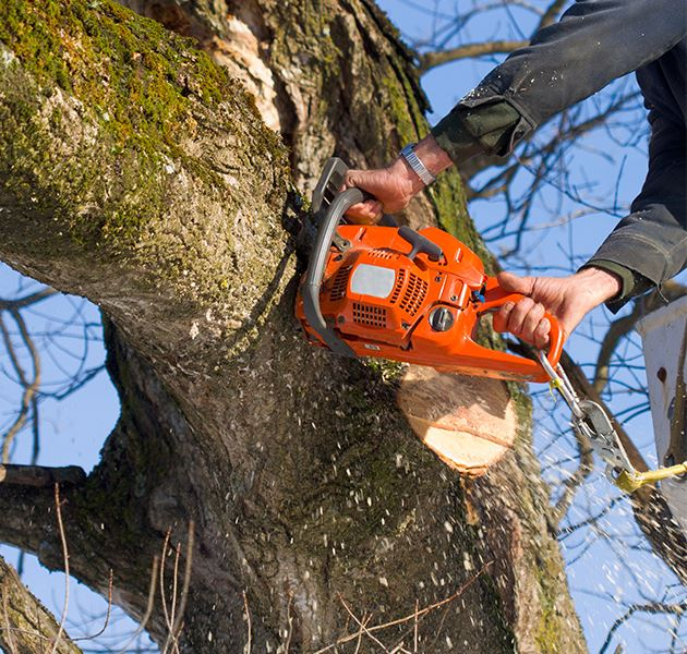Chainsaw cutting a tree